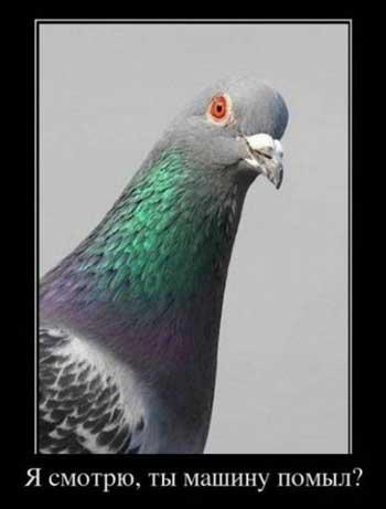 Прикольные фото голубей