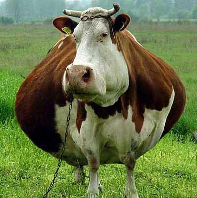 Прикольные фото коров