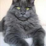 Самые крупные коты — фото