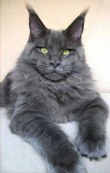 Самые крупные коты - фото