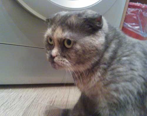 Картинки - недовольный кот