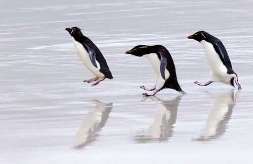 Смешные пингвины - картинки