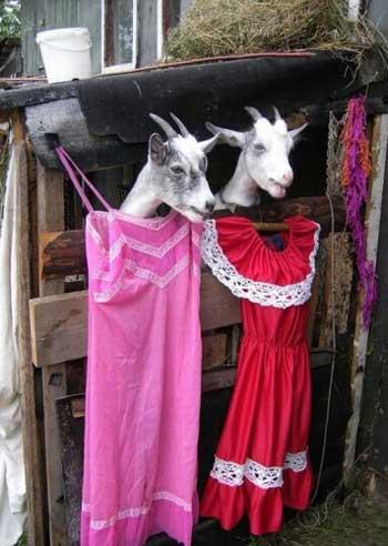 Смешные козы - картинки