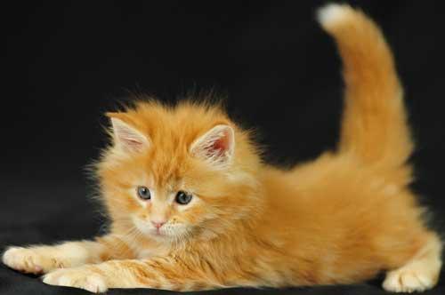 Смешные рыжие коты - фото