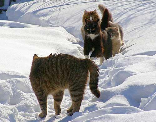 http://www.shmyandeks.ru/wp-content/uploads/2014/12/koty_zimoi_foto_8.jpg
