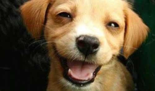 Собаки улыбаются - фото