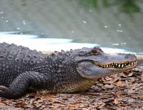 Крокодилы улыбаются