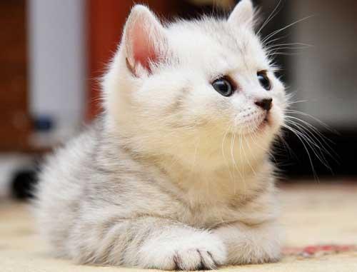 Красивые белые котята